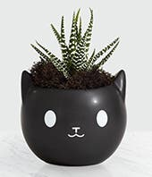 Kitty in the Window Succulent