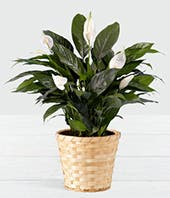 Guardian Angel Peace Lily