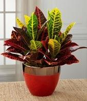 Pure Autumn Croton Plant
