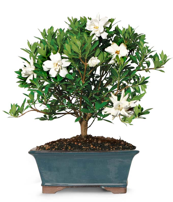 Bonsai White Flower Gardenia Plant