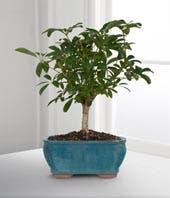 Dwarf Bonsai Tree