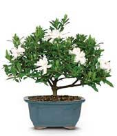 White flowering bonsai plant