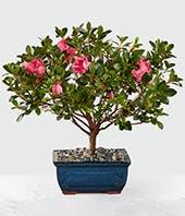 Azalea plant with pink flowers