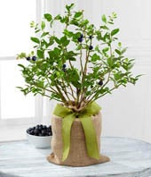 The FTD� Berry Beautiful Blueberry Plant by Better Homes and Gardens�
