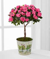 The Better Homes and Gardens� Heart's Opening Azalea Topiary