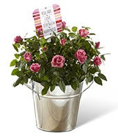 Mini Pink Rose Plant by Hallmark
