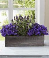 Lavender plant delivered in wooden floral box