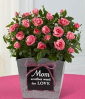 Mom is Love Mini Rose Plant
