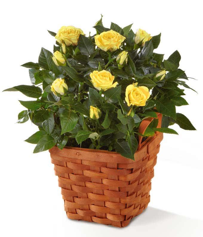 Orange mini rose plant delivered in a woven basket