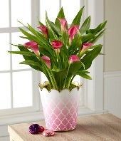Valentine's Day Calla Lily Plant with Hebert� Chocolates