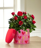 It Is Love Valentine's Day Mini Rose with 2 Boxes of Chocolate