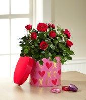 Valentine Mini Rose with 1 Box of Chocolate & Gund� Bear