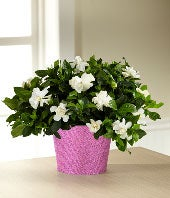 Sparkle & Shine Valentine Gardenia