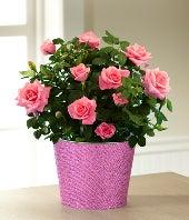 Kiss Me Quick Valentine's Day Mini Rose