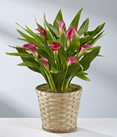 Pink Calla Lily Plant