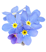 Forget-me-not Alaska state flower