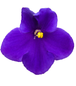New Jersey State Flower