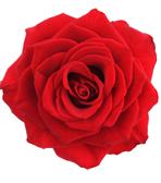 New York State Flower - Rose